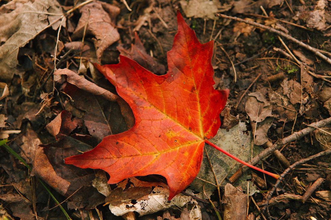 Maple Leaf on the ground